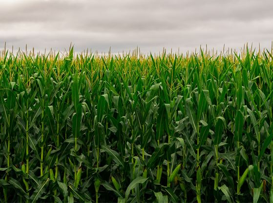 A picture of a flourishing cornfield